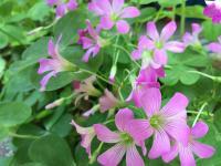 ピンクの花2.JPG