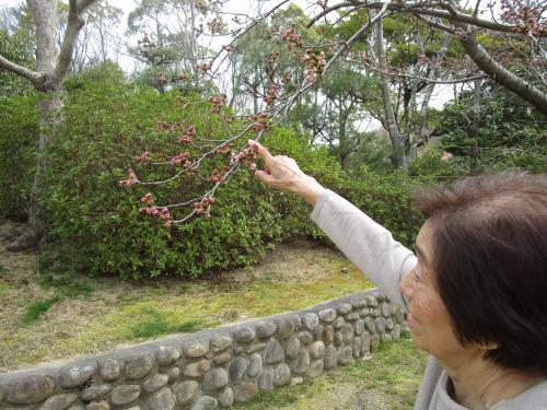 ✿中庭の桜の木 その3✿
