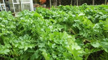 【収穫】裏庭で大根とったど~!!