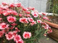 ピンクの花3.JPG