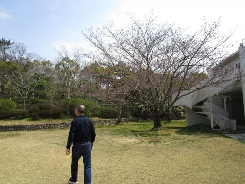 ✿中庭の桜の木 その2✿